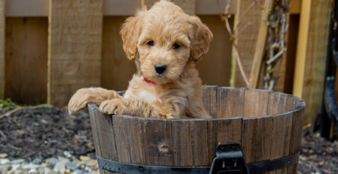 7 Best Collar For Goldendoodle Puppy In 2021